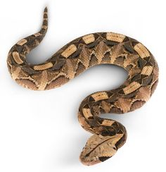 Looking to learn more about vipers? Improve your knowledge on viper snakes with these facts and find out more about reptiles with DK Find Out for kids. Reptiles Names, Gaboon Viper, Snake Facts, Chameleon Lizard, Cute Snake, Snake Venom, Ball Python, Tattoo Inspiration, Tatoo