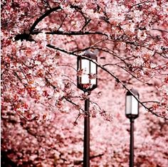 There is something about the Sakura (cherry) Blossoms. That just shouts spring time. I want to stroll under a sea of blossoming trees in spring time. it must be so relaxing Sakura Cherry Blossom, Cherry Blossoms, Pink Blossom, Cool Pictures, Beautiful Pictures, Pretty Images, Beautiful Places, Monday Inspiration, Tree Images