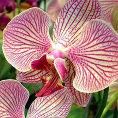 Orquidea / Orchid (Chile)