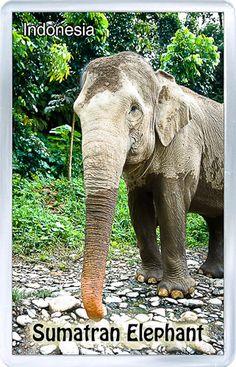 Acrylic Fridge Magnet: Indonesia. Sumatran Elephant
