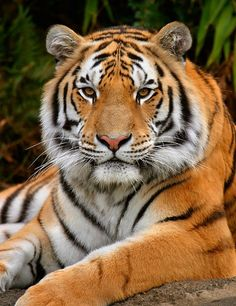 Is beautiful. Majestic Animals, Rare Animals, Cute Baby Animals, Funny Animals, Wild Animals, Siberian Tiger, Bengal Tiger, Beautiful Cats, Animals Beautiful