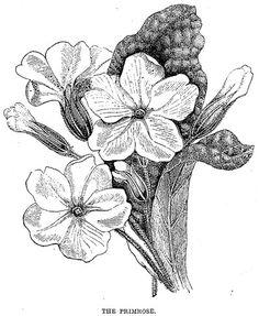 Vintage black and white illustration of a primrose.