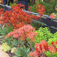 """""""Hot-colored flowers—coral aloe, chartreuse euphorbia, lipstick pink grevillea, and kangaroo paws (in bright orange) —add punch to the outer garden, while a judicious splash of blue Senecio mandraliscae tones down the heat. Drought Resistant Plants, Drought Tolerant Landscape, Landscape Design, Garden Design, Kangaroo Paw, All Nature, Coral, Front Yard Landscaping, Landscaping Ideas"""