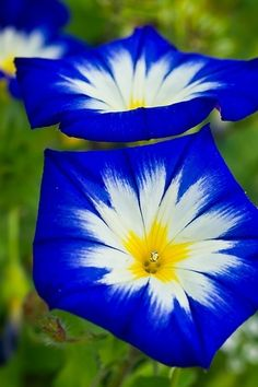 9e1820f61480 ~~Blue Ensign Morning Glory ~ Île Saint-Germain by marianboulogne~~ and I  can GROW morning glories.