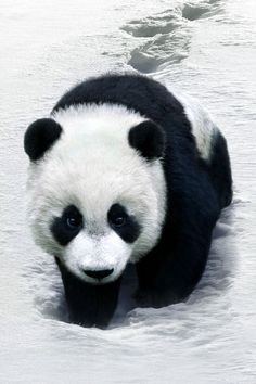 The Giant Panda is the most threatened of all 8 species of bears. Why can't human's just leave the animal's in peace! Panda Love, Cute Panda, Panda Panda, Big Panda, Animals And Pets, Baby Animals, Cute Animals, Wild Animals, Image Panda