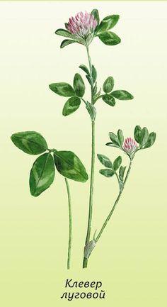 КЛЕВЕР - слово немецкое. Но так оно нам полюбилось, что теперь мало кто помнит, как же называли это растение по-русски. Звался клевер трилистником, трояном, троицей, троезельем. Называли клевер котик (потому что он мягкий), смоктуши и сосульки (потому что цветы клевера использовали в пищу), медовая трава, бабочкин хлеб, конюшина, дятлина красная.