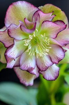 helleborus seeds Winter Rose flower grow in Winter rare flower seeds outdoor plant for home garden Rare Flowers, Exotic Flowers, Amazing Flowers, Purple Flowers, Beautiful Flowers, Growing Flowers, Planting Flowers, Lenten Rose, Flower Seeds