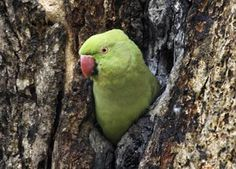 Everything You Need to Know About the Indian Ringneck Parakeet