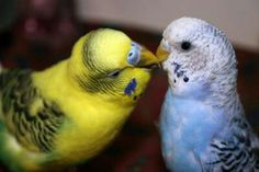 Dominant pied green and opaline cobalt budgies