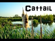 (The Northwest Forager) Ep. 4 Cattail
