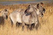 Konikstuten und Fohlen stehen in einem Schilfguertel - (Waldtarpan - Rueckzuechtung), Equus ferus caballus - Equus ferus ferus, Heck Horse mares and foals stand in a reed belt - (Tarpan - breed back)