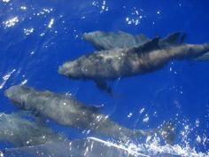 Dolphins off Fakarava French Polynesia, Pacific Ocean, Dolphins, Whale, Animals, Whales, Animales, Animaux, Animal