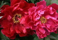 This macro of giant twin peonies was taken from one of my flower beds. I like how the sunlight lit them up and yet provided many shades of red. Garden Plants, House Plants, Red Flowers, Beautiful Flowers, Phone Wallpaper Pink, Blue Peonies, Peonies Garden, Fauna, Beautiful Gardens