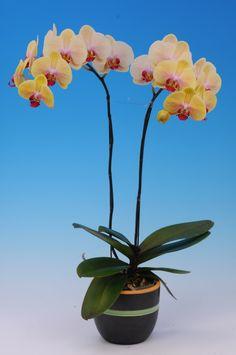Phal. Sin-Yaun Golden Beauty