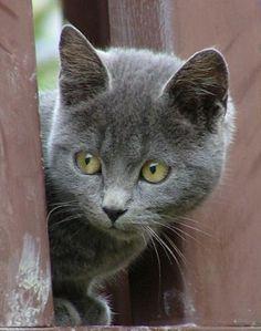 Certosino è senza ombra di dubbio uno dei gatti più belli che esistano