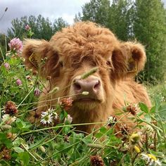 I love these Highland Cows!  So cute and fuzzy!!!