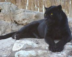 via Amazing Things in the World Pantera Negra