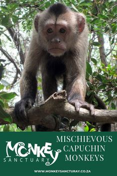 Even though you may not recognize the word capuchin, you've probably seen these spunky little fellas, the most intelligent of all monkeys because they've starred in innumerable TV shows, movies, and commercials. Travel Magazines, Online Travel, Monkeys, South Africa, Places To Visit, Birds, Tv, Animals, Rompers