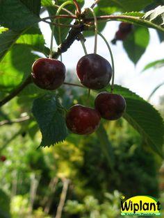 Prunus avium 'Gårdebo', sötkörsbär. Lokal sort från Tranås. Bär tidigt och rikligt. Värt att pröva! Zon: II
