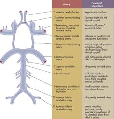 Twitter / IMmemorandum: Anatomy of the circle of Willis, ...