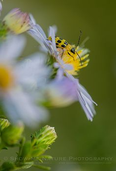 Colorful Small Beetle on Aster wildflower | Show Me Nature Photography