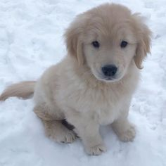 30 Cutest Golden Retriever Images That Will Make Your Day Better – Animals Comparison - Cutest Baby Animals Baby Pugs, Baby Puppies, Cute Little Animals, Cute Funny Animals, Small Cute Puppies, Cute Puppies Golden Retriever, Retriever Puppies, Cute Puppy Breeds, Cute Puppy Videos