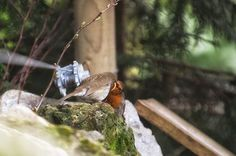 What a wonderful photo of courtship feeding from our friend Villager Jim.  Courtship feeding is the bird equivalent of a box of chocolates or a bunch of flowers, an opportunity to woo the female and strengthen the pairs bond. Bobbin the Robin is one lucky lady!