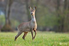 Roe deer by UrosPoteko via http://ift.tt/1MRBbSz
