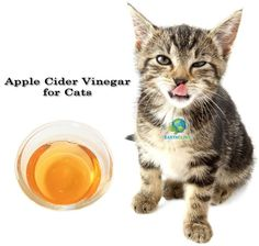 """Apple Cider Vinegar for Cats - Apple cider vinegar is a natural remedy that you will want to keep on hand if you own cats! It is a """"go to"""" home remedy for numerous health conditions in pets, including cats. Apple cider vinegar is used internally and exter Cat Uti, Cat Fleas, Fleas On Kittens, Flea Remedies, Natural Remedies, Herbal Remedies, Natural Treatments, Cold Remedies, Health Remedies"""
