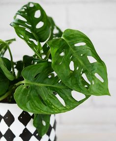 Easy To Grow Houseplants Clean the Air Monstera Obliqua Little Plants, All Plants, Indoor Plants, House Plants, Monstera Obliqua, Easy To Grow Houseplants, Plant Bugs, Natural Bug Spray, Desert Plants