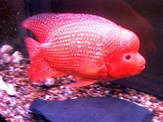 Red Jewel Cichlid red jewel cichlid ... he is absolutely fabulous ...