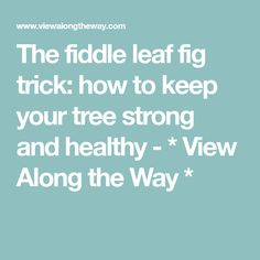 The fiddle leaf fig trick: how to keep your tree strong and healthy - * View Along the Way *