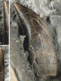 The fossilised tooth from  Dracoraptor hanigani.  This dinosaur probably ate insects and other small animals.