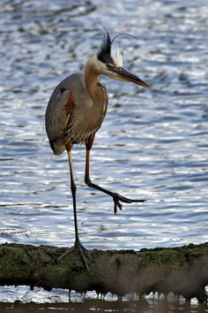 A Great Blue Heron walks along a tree branch on the James River Thursday evening in Newport News. (Photo by Jonathon Gruenke/Daily Press)