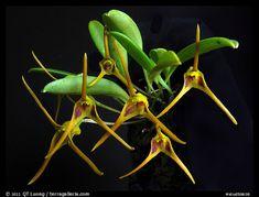 Masdevallia richardsoniana. A species orchid (color)