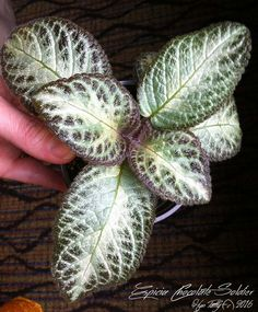 Episcia 'Chocolate Soldier' - I picked up this young plant at the DAVS Convention in Atlanta. Plants or stolens are available. Potted Plants, Indoor Plants, Indoor Gardening, Cocoa Plant, Trees To Plant, Plant Leaves, Nerve Plant, Whatsoever Things Are Lovely, Inside Garden