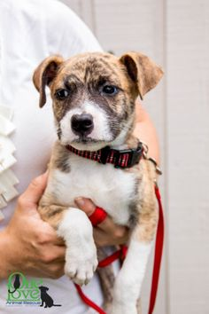 ADOPTED JUNE 2016!! Mako: Introducing Mako! This little fella is super scared living in the shelter and probably as a stray, no positive human interactions but we are slowly bringing him out of his shell! Boxer mix, 9 week old, male puppy. In Foster Care: wwwoneloveanimalrescue.com