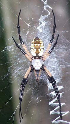 1000+ images about Spiders Rule! - Texas Natives on Pinterest | Brown recluse spider, Spider and Texas