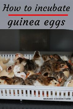 How to hatch guinea keets. Learn how to incubate guinea fowl eggs and hatch keets with this step by step guide to incubation. Instructions for all types of incubators. Raising Backyard Chickens, Keeping Chickens, Pet Chickens, Chicken Pumpkin, Hatching Chickens, Raising Ducks, Guinea Fowl, Chicken Tractors, Mini Farm