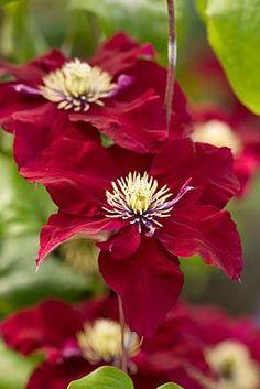Clematis 'Rebeccca' by Clive Nichols #flower #clematis #garden