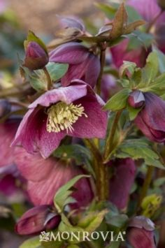 Red Lady Lenten Rose
