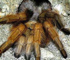 Desert Blonde Tarantula Care Sheet. Desert blonde tarantula breeding. Spider. Tarantula.