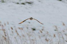 Short-eared Owl in a Snow Field by Mubi.A