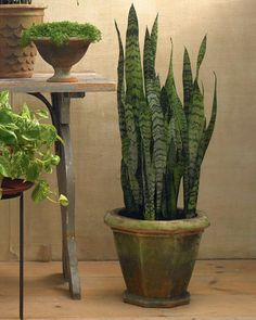 Sculptural and striking, this plant will survive everything but cold or overwatering.