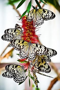 by Jacinthe Brault, Montreal Botanical Garden, Québec, Canada. butterflies on bottle brush bloom Papillon Butterfly, Butterfly Kisses, Butterfly Flowers, Beautiful Butterflies, Flying Flowers, Henna Butterfly, Butterfly Party, Beautiful Bugs, Butterfly Wings