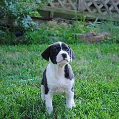 Sunbury, OH - Terrier (Unknown Type, Medium). Meet Sophia a Dog for Adoption.