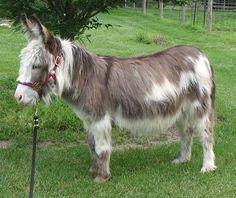 Elevage d'ânes miniatures WOOLLY en Provence