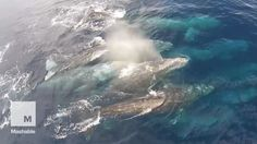 Watch rare drone footage of gray whale superpod | Mashable