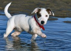 Jack Russell (Photo by Steve-65 http://commons.wikimedia.org/wiki/File:Jack_Russell_Puppy.jpg)