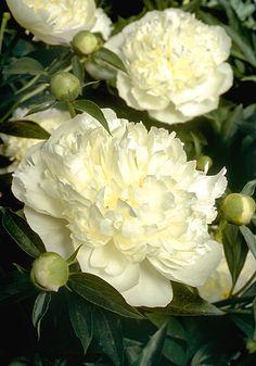 Peony 'Duchesse De Nemours'  [previous pinner's info]